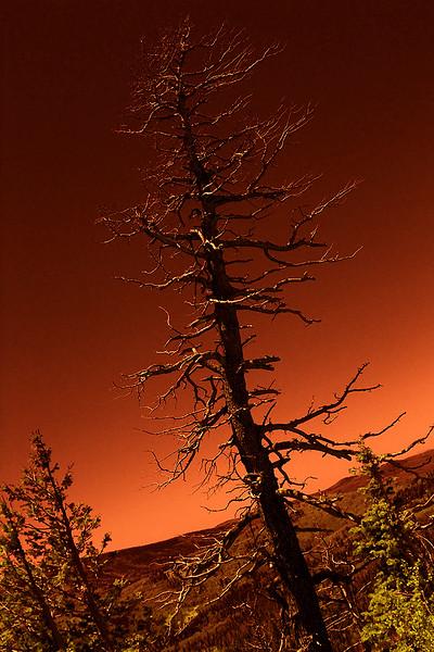 Douglas Fir - Lightning kill - Infrared rendering.  Cedar Breaks National Monument, Utah.