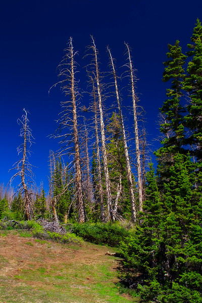 Blue Spruce Lightning Kill. Cedar Breaks National Monument, Utah.