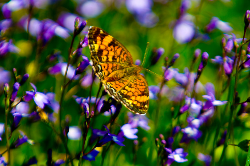 Butterfly - this fellow was maybe 1/2 inch in size - enjoying the nectar in blossoms on the lawn at the visitors center.