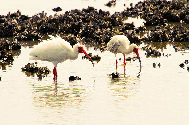 Oysters anyone? White Ibis pair - Oyster Flats - Cedar Key, Florida