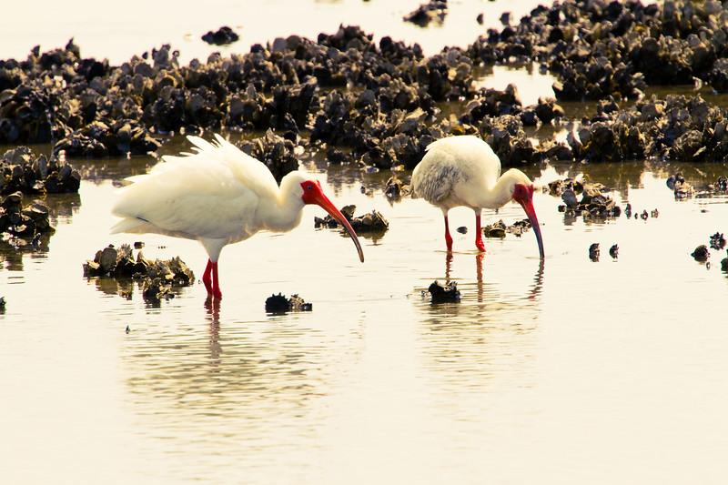 Oysters anyone? White Ibis pair - Oyster Flats - Cedar Key, Florida