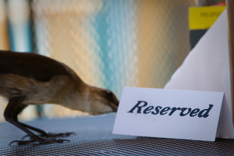 """Contri Date: April 7, 2011 - Who's really got this table reserved?  Although the autofocus hit the 'Reserved' tent card rather than the lady Grackel, the message is the same..  She was sure doing a thorough check of the next table over..!   <br /> On the deck at the Pickled Pelican with my bride, gator bites and a brew.  Cedar Key, Florida.<br /> See our Cedar Key work at: <a href=""""http://www.louisannimage.com/Travel/Our-America/Cedar-Key-Old-Floridas-Big/"""">http://www.louisannimage.com/Travel/Our-America/Cedar-Key-Old-Floridas-Big/</a><br /> Thanks, HB"""