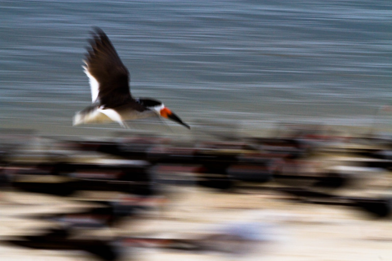 Panning a Black Skimmer in flight as his friends set below..