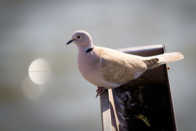Contri Date: April 24, 2011 - Easter.  Ringneck Dove.. From our veranda, The Harbor Master, Cedar Key. Happy Easter to all! HB & Red.