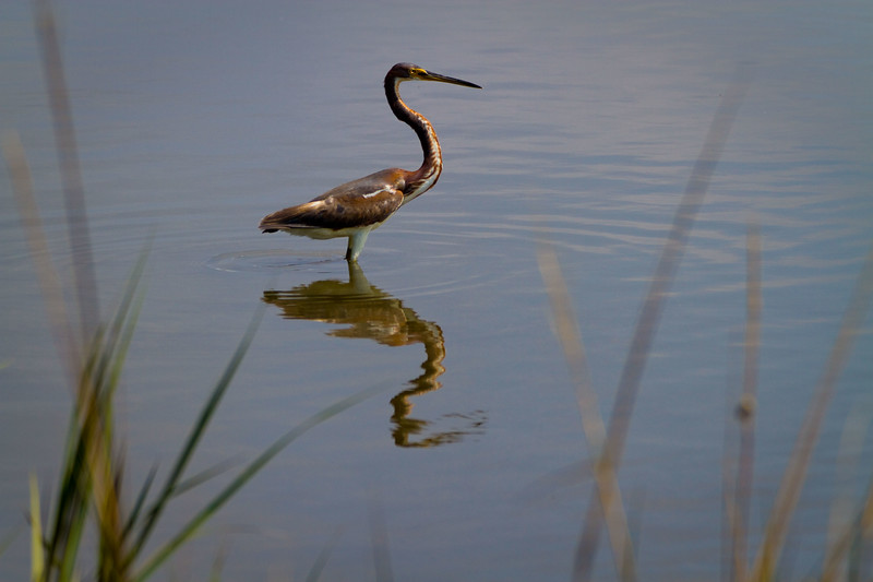 Still look'n.. Tri-color Heron, Salt flats - Cedar Key, Florida