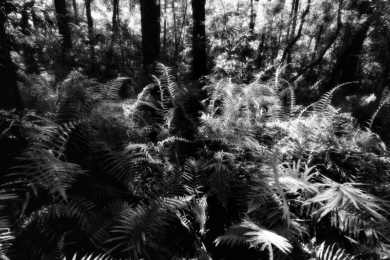 Under the canopy, the fern flourishes. This is an infrared rendering.  The flora and fauna of Corkscrew Swamp... From macro shots of the spiders web, tall views up through the canopy of the forest, the white plumage of the heron to the wide expanse of the grassy savannah's, this place is so well worth the ride.