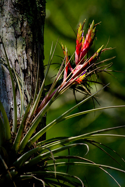 "Contri Date: May 21, 2011 - Wild Pine, also known as Quill Leaf -  the subtile colors of it's blossom catch your eye in some of the drier parts of the walk.. We'll toss in an Egret pic maybe tomorrow..<br /> <br /> The flora and fauna of Corkscrew Swamp... From macro shots of the spiders web, tall views up through the canopy of the forest, the white plumage of the Egret... to the wide expanse of the grassy pine flatwood savannah's, this place is so well worth the ride.<br /> <br /> See our Corkscrew Swamp Gallery at: <a href=""http://www.louisannimage.com/Travel/Our-America/Corkscrew-Swamp-East-Naples/"">http://www.louisannimage.com/Travel/Our-America/Corkscrew-Swamp-East-Naples/</a><br /> <br /> Thanks, HB"