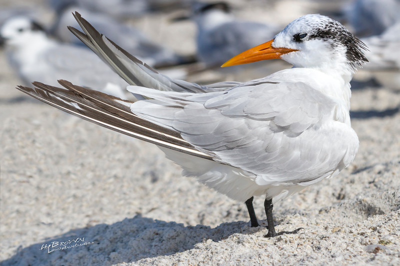 'Royal Tern...'<br /> By the sea - Anna Maria Island, Florida