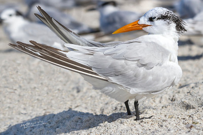 'Royal Tern...' By the sea - Anna Maria Island, Florida