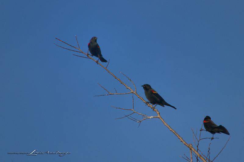 Redwing Blackbird - Lower St Johns River Basin - East Central Florida