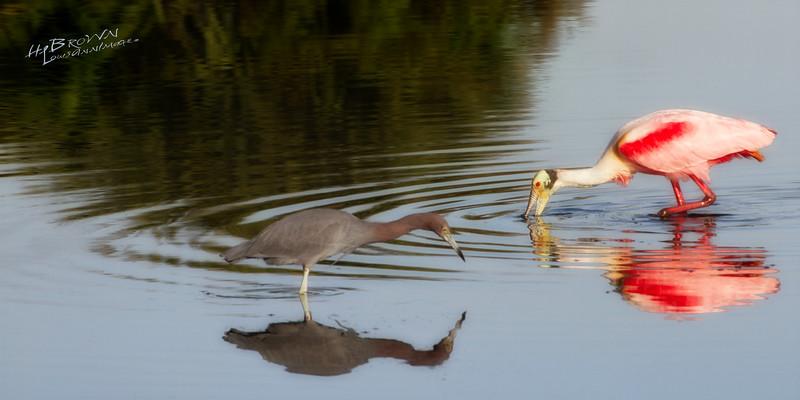 Little Blue Heron - Roseate Spoonbill - Cooperative Existence - Merritt Island National Wildlife Refuge, Florida