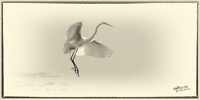 White Heron, (Great Egret) Merritt Island National Wildlife Refuge, Florida