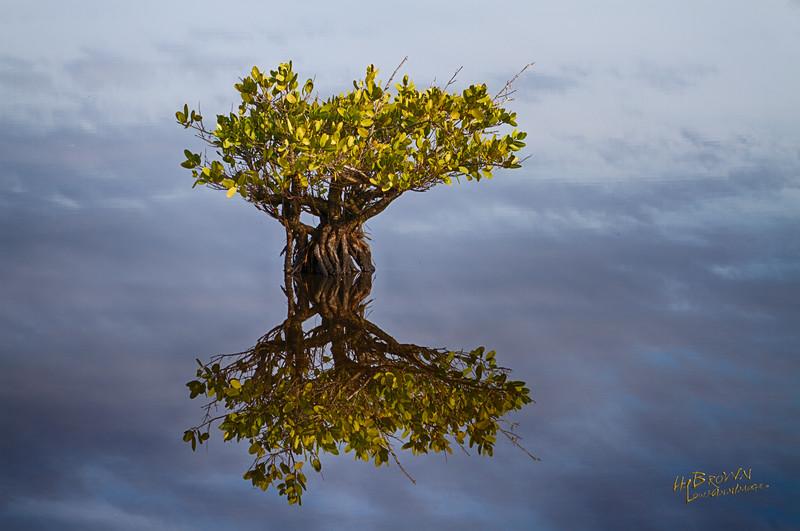 Mirrored Mangrove - Merritt Island National Wildlife Refuge, Florida