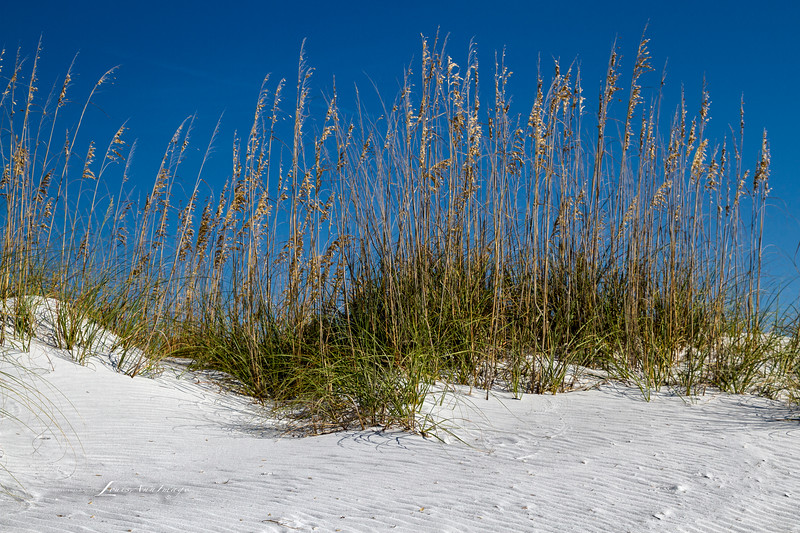 Dunes ~ Sea Oats<br /> By the sea - Anna Maria Island, Florida