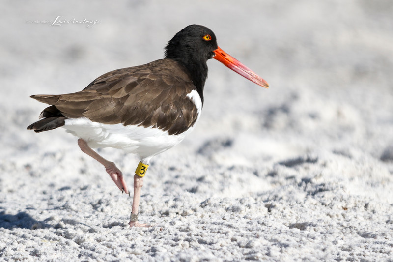 'American Oystercatcher...'<br /> By the sea - Anna Maria Island, Florida
