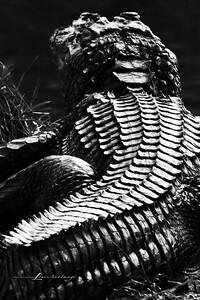 Alligator - Merritt Island National Wildlife Refuge, Florida