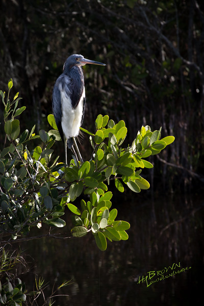 Tricolored Heron - Merritt Island National Wildlife Refuge, Florida.