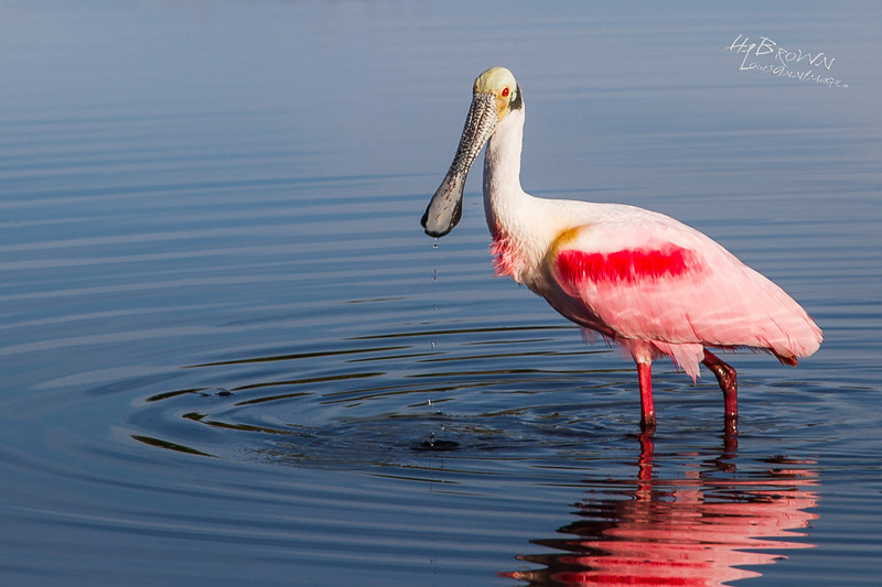 Roseate Spoonbill - Having just raised up from sifting the muck to give us some 'stink-eye,' water droplets fall from it's purpose built bill... Merritt Island National Wildlife Refuge, Florida.<br /> <br /> Canon 7D,EF70-200mm f/2.8L IS II USM +2.0x, 380mm, 1/160 s @ f/14, ISO 100