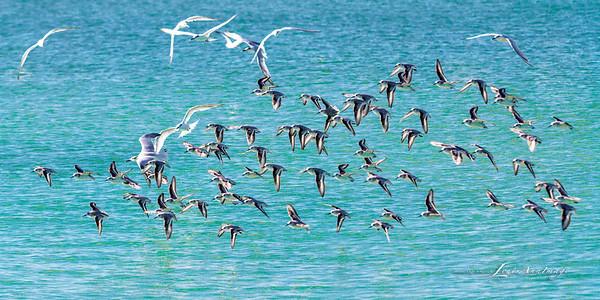 'Flight...' By the sea - Anna Maria Island, Florida