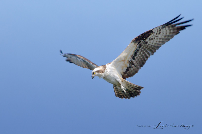 Osprey - Merritt Island National Wildlife Refuge, Florida