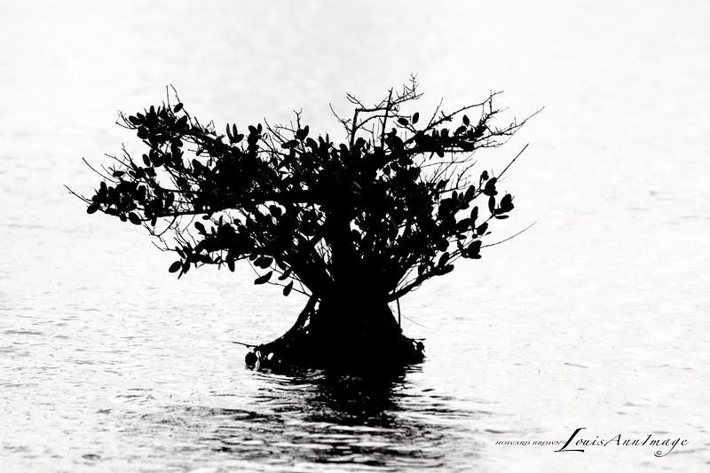 Mangrove - Merritt Island National Wildlife Refuge, Florida