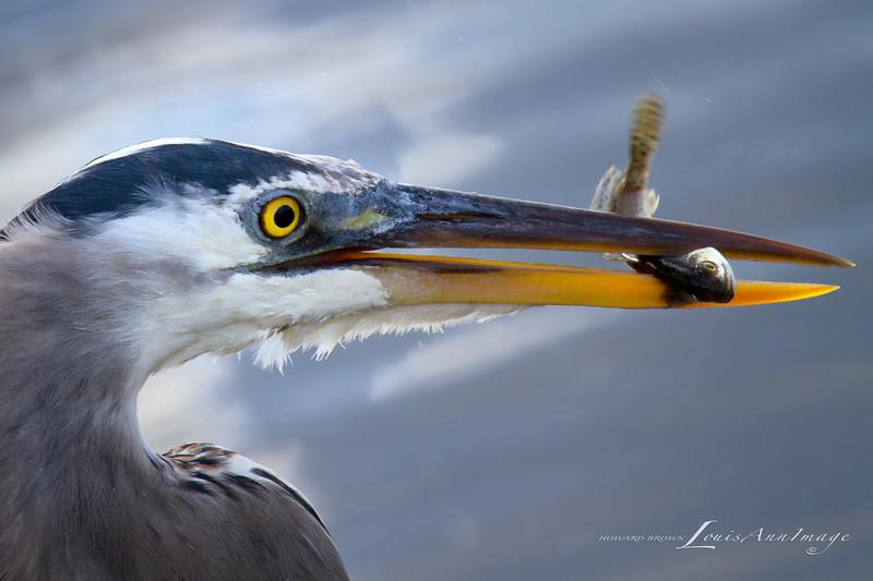 Toying with Lunch - Great Blue Heron - Merritt Island National Wildlife Refuge, Florida