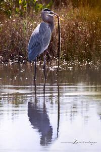 Great Blue Heron - Feeding on snake - Merritt Island National Wildlife Refuge, Florida