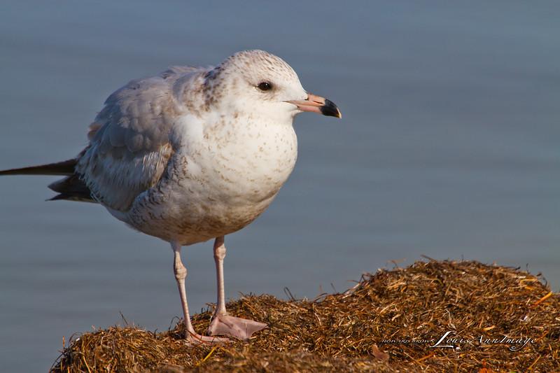 Gull - Merritt Island National Wildlife Refuge, Florida