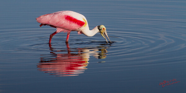Roseate Spoonbill - Merritt Island National Wildlife Refuge, Florida