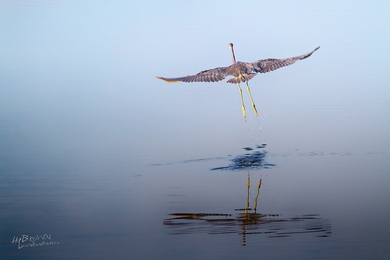 Little Blue Heron -  Merritt Island National Wildlife Refuge, Florida