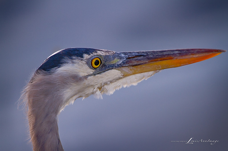 Great Blue Heron - Merritt Island National Wildlife Refuge, Florida