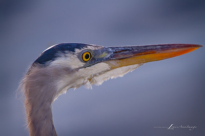 Great Blue Heron - Merritt Island National Wildlife Refuge, Florida