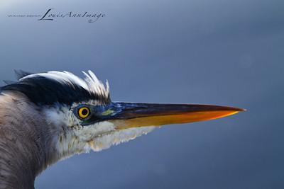 Hackles Up.. Great Blue Heron - Merritt Island National Wildlife Refuge, Florida