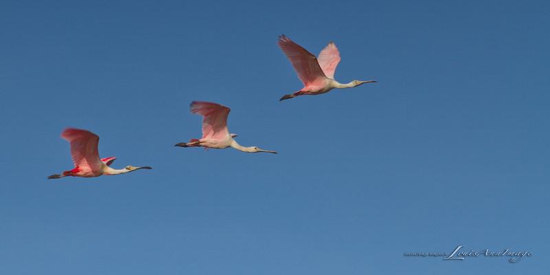 Flight - Roseate Spoonbill - Lower St Johns River Basin - East Central Florida