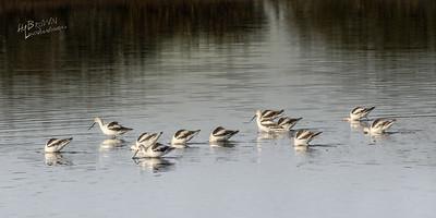 American Avocet - Merritt Island National Wildlife Refuge, Florida.