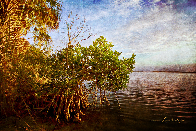 Mangrove at Eldora
