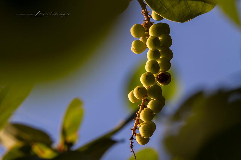 'Sea Grape...'<br /> Anna Maria Island, Florida