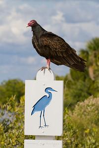 Turkey Buzzard - Merritt Island National Wildlife Refuge, Florida