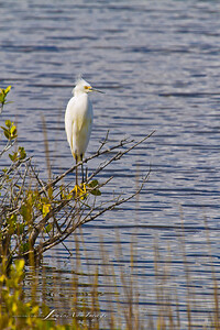 Snowy Egret - Merritt Island National Wildlife Refuge, Florida