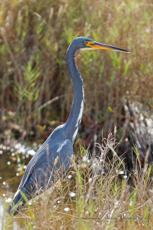 Tricolored Heron - Merritt Island National Wildlife Refuge, Florida