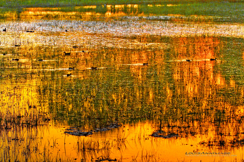 Color of Dusk...<br /> Shoveler Duck finish up their evening feast before the roost.<br /> Chupadera Marsh, Bosque Del Apache NWR, New Mexico.