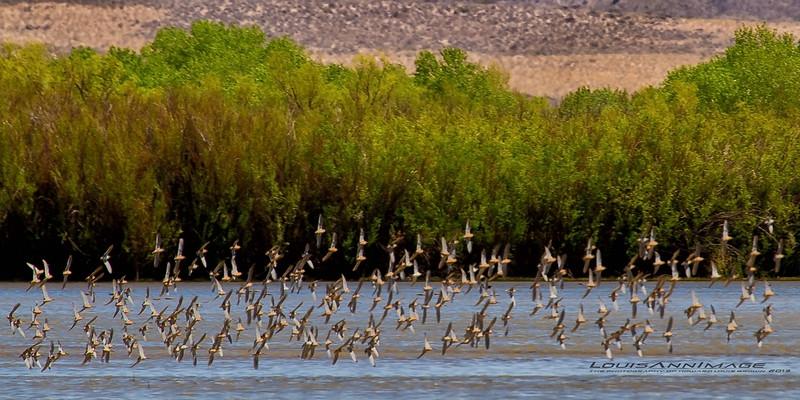 American Avocet arise en masse..<br /> Bosque del Apache NWR, NM
