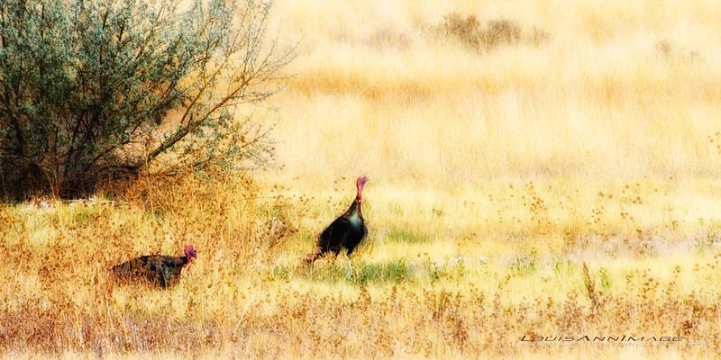 Wild Tom Turkey - Bosque del Apache NWR, New Mexico
