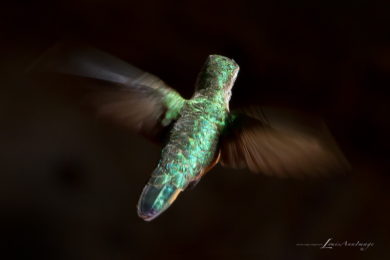Black Chinned Humming Bird - the other side, all three inches wingspan.  Viewed 'small' may still be a bit  larger-than-life....