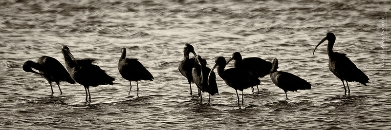White Faced Ibis - Bosque del Apache NWR, NM