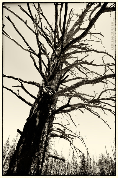 Death of a Ponderosa - trailside, off Sandia Crest Scenic Byway, NM