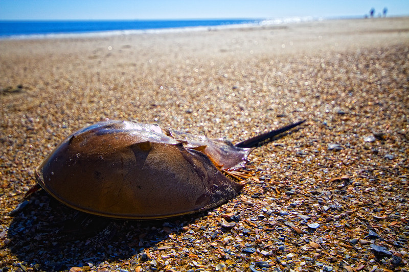 "Contri Date: November 30, 2010 - Horseshoe Crab - Just a tad dried out - this fellow lost his way and got 'high centered' at the far edge of the morning high tide.  To late when I found him.  <br /> <br /> This will be the last of our posts from Savannah and Tybee Island, where we spent a few days relaxing at the beginning of November..   Thanks for your comments during this series!   HB<br /> <br /> Visit our Savannah/Tybee Island Gallery at:  <a href=""http://www.louisannimage.com/Travel/Our-America/Savannah-Tybee-Island/9920778_5iZRZ#676541846_o5HMw"">http://www.louisannimage.com/Travel/Our-America/Savannah-Tybee-Island/9920778_5iZRZ#676541846_o5HMw</a>"