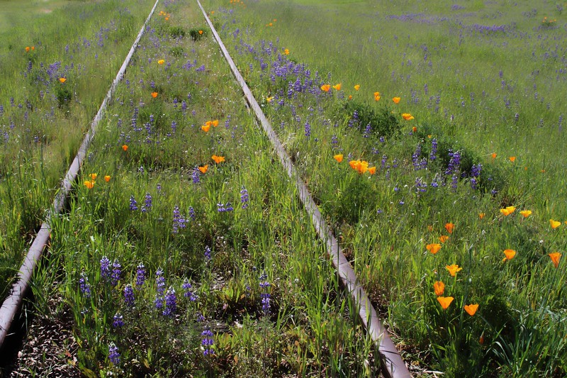 """On the Tracks - Clos du Bois"" - Blue Lupine and California Poppy.  Early Spring in the Alexander Valley -  The valley floor, afire in floral Mustard and wild flowers is a wonderful palatte before the lens. This is truly God's country."