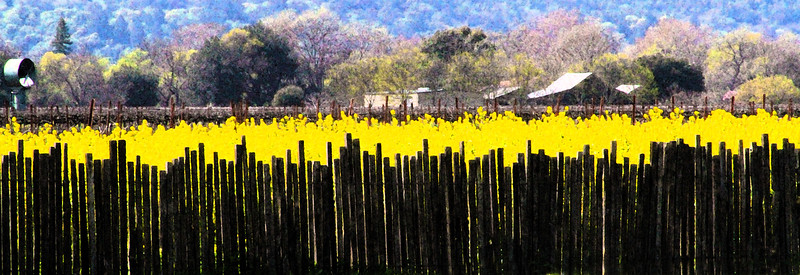 "Wednesday 4-28-10 - ""Yellow Gold - Silver Oak Cellars"" - Early Spring in the Napa Valley - The valley floor, afire in floral Mustard and wild flowers is a wonderful palatte before the lens. This is truly God's country."