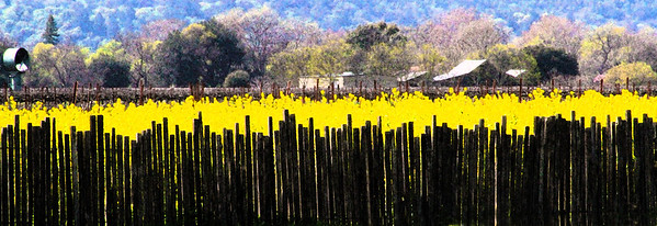 """Wednesday 4-28-10 - """"Yellow Gold - Silver Oak Cellars"""" - Early Spring in the Napa Valley - The valley floor, afire in floral Mustard and wild flowers is a wonderful palatte before the lens. This is truly God's country."""